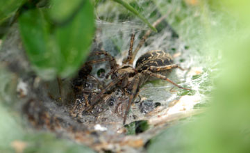 Funnel Weaver [Agelena labyrinthica]