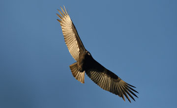 Turkey Vulture [Cathartes aura septentrionalis]