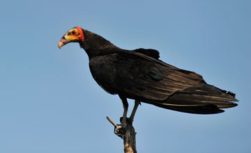 Lesser Yellow-Headed Vulture [Cathartes burrovianus urubutinga]