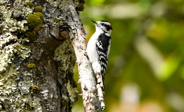 Downy Woodpecker [Dryobates pubescens medianus]
