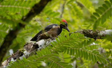 Lineated Woodpecker [Dryocopus lineatus lineatus]