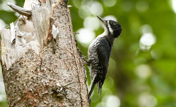 Black-Backed Woodpecker [Picoides arcticus]