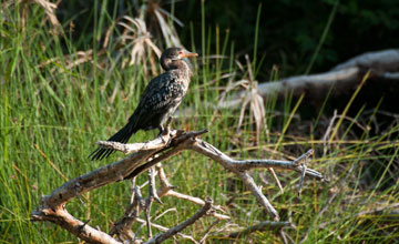 Reed Cormorant [Microcarbo africanus]