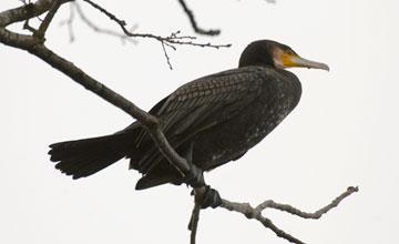 Great Cormorant [Phalacrocorax carbo carbo]