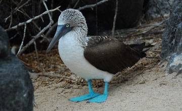 Blue-Footed Booby [Sula nebouxii excisa]