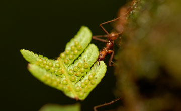 Leaf-Cutting Ant [Atta (Genus)]