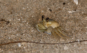 Atlantic Ghost Crab [Ocypode quadrata]
