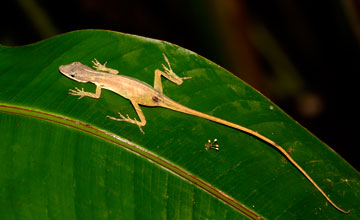 Anolis Limifrons [Anolis limifrons]