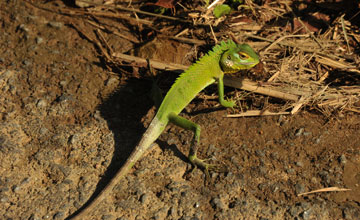 Common Green Forest Lizard [Calotes calotes]