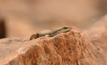 Western Rock Skink [Trachylepis sulcata]