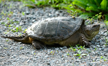 Common Snapping Turtle [Chelydra serpentina]