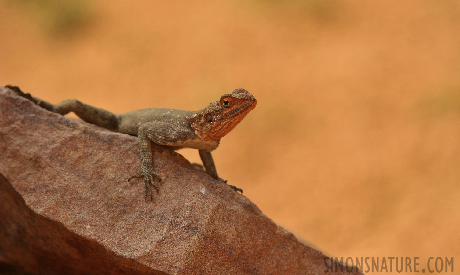 Agama planiceps [400 mm, 1/800 sec at f / 8.0, ISO 1000]