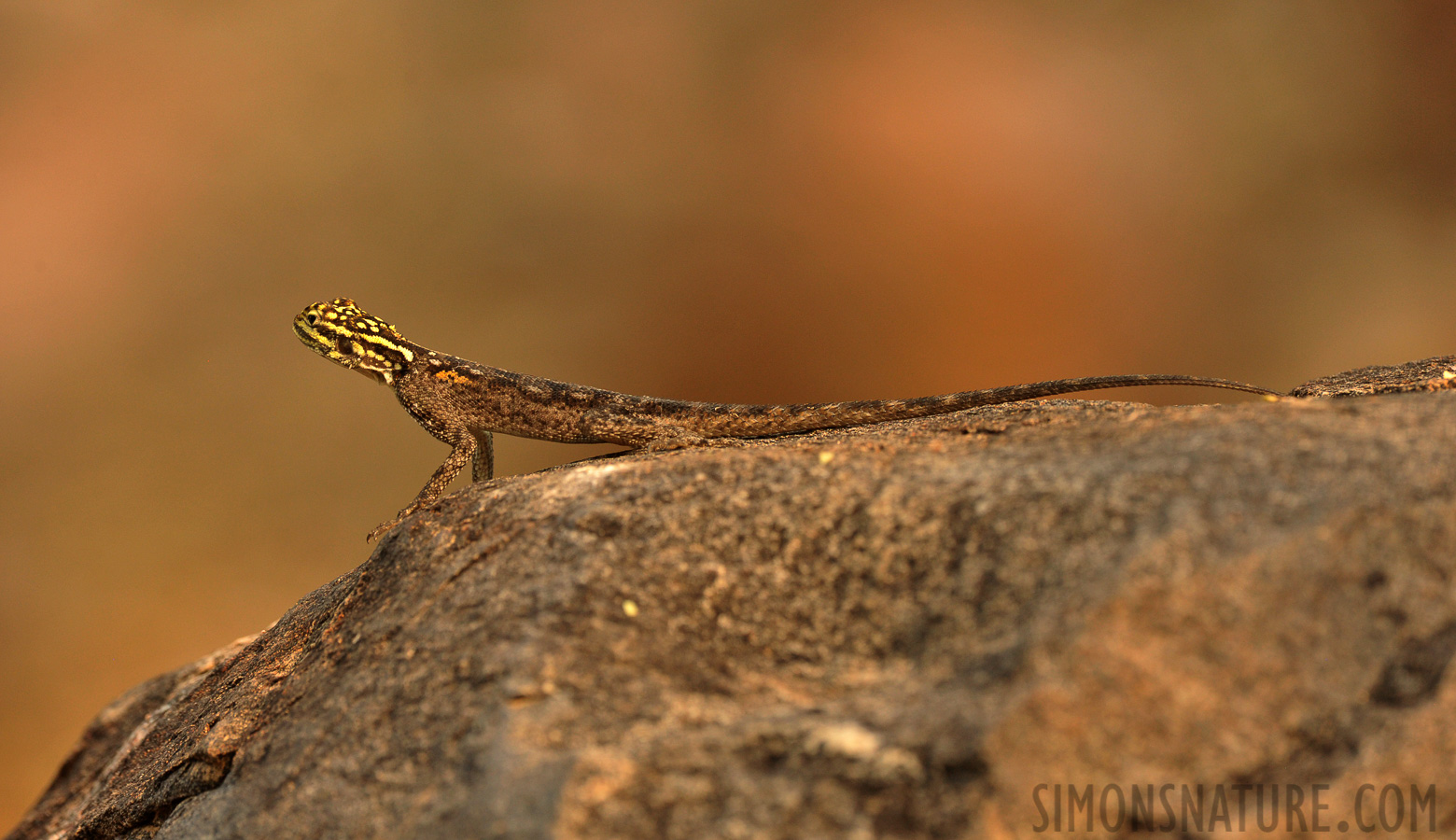 Agama planiceps [400 mm, 1/320 sec at f / 8.0, ISO 1600]