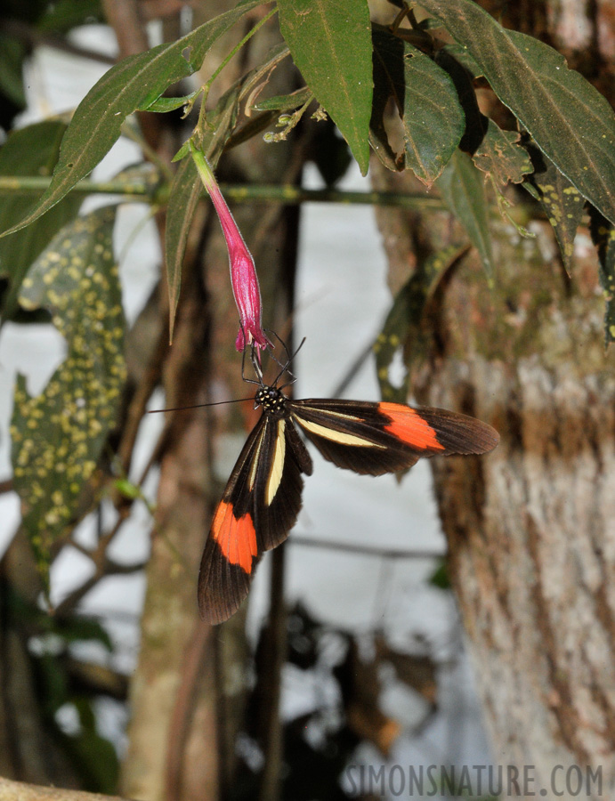Heliconius erato [300 mm, 1/60 sec at f / 29, ISO 1600]
