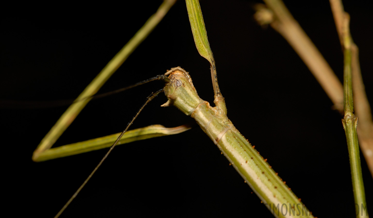 Phasmatodea sp [105 mm, 1/60 sec at f / 11, ISO 200]